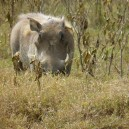 Warthogs may not be prettiest African animal we will spot on a safari in Kenya but they sure are entertaining