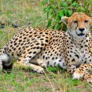 Up close and personal with a cheetah in the Serengeti NP.
