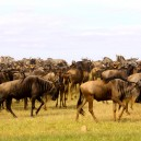 Don't miss the amazingly incredible great Wildebeest migration while on this budget safari to Africa!