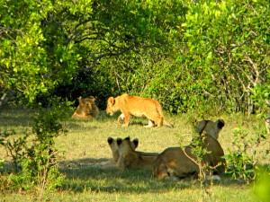 Every safari in the Masai Mara is full of surprises!
