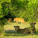 These lion cubs are cheerfully playing while mum is away hunting in the Masai Mara National Reserve.