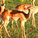 Impala in the Serengeti NP, one of the most beautiful brown jumpy things in Africa!