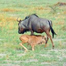 Travel with us between July and October and you will experience the greatest phenomenon on earth - the great Wildebeest migration