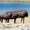 These wildebeest are deciding where to go next after completing the famous Mara river crossing on their migration in the Masai Mara