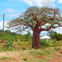 The iconic Baobab tree is very important to African culture, not only does it provide shelter and food but is also used for communication.
