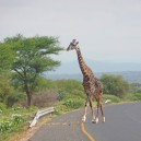 Giving way to a giraffe crossing the road near Amboseli NP in Kenya on our African self drive safari