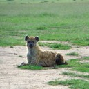 This young hyena posed beautifully for his picture. See lots of young furry baby's while on a safari holiday to Africa