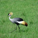 A colourful crane out for an afternoon walk in the Masai Mara National Reserve in Kenya