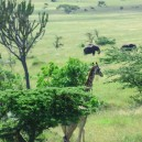 A family of Ellies enjoying the afternoon sun as giraffe wander by in the Serengeti NP