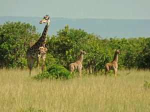 Absolutely incredible! Twin Giraffe with their mum in the Masai Mara Game Reserve in Kenya