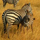 Zebra and her foal.