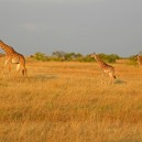 Mum with twins. A very rare occurrence with masai giraffe