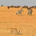 Cheetah hunting. What an incredible sight in the Masai Mara