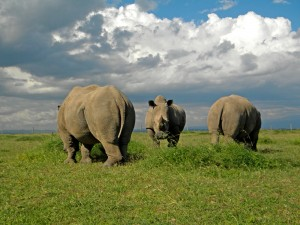 Rhino in Ol Pejeta Conservancy Kenya