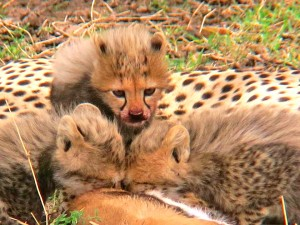 Cheetah cubs. Nothing is cuter or fluffier!