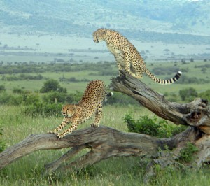 Cheetah in the Mara, just one amazing thing you may see while on a self drive safari