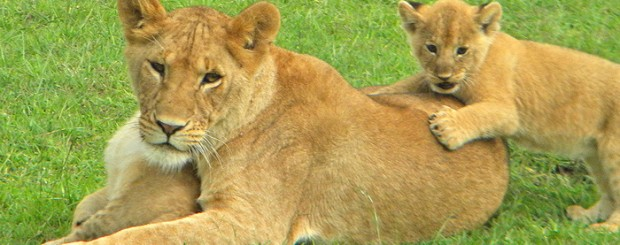 Mum keeping busy with her cubs in the Masai Mara, Kenya