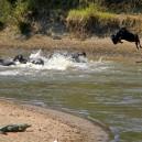 The wildebeest migration in the Masai Mara