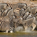 Zebra cooling off in the marshes of Amboseli NP